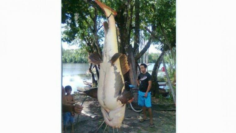 A captura de um exemplar desse porte é rara até mesmo na bacia amazônica