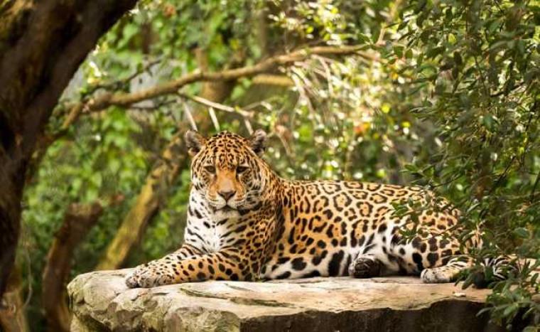 Onça-pintada pode ser encontrada em apenas algumas regiões do Brasil