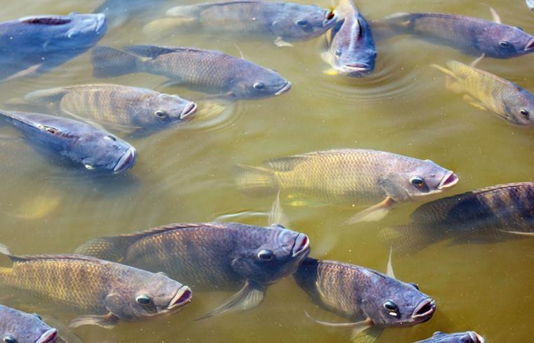 A liberação para criação do peixe Tilápia no Tocantins vai impulsionar os negócios