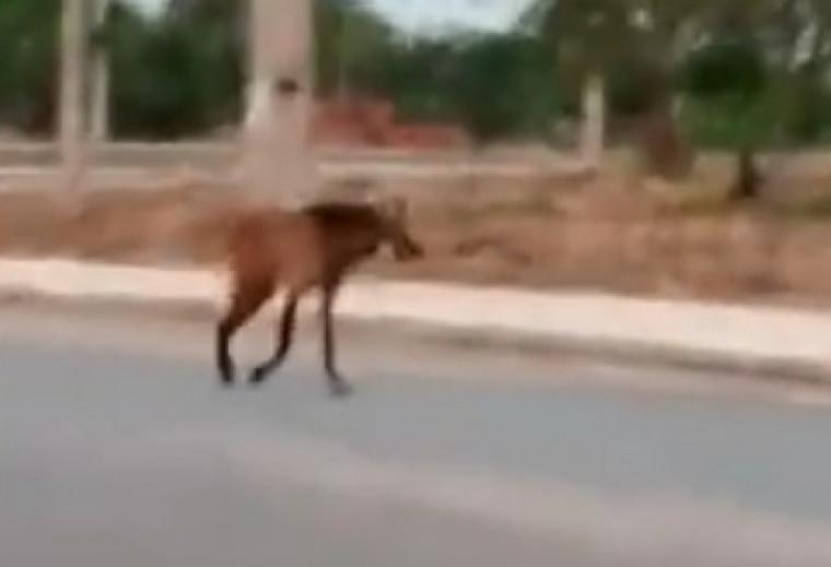 Lobo-guará nas ruas da capital
