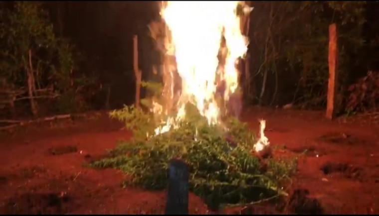 Plantação de maconha foi destruída pela Polícia Civil