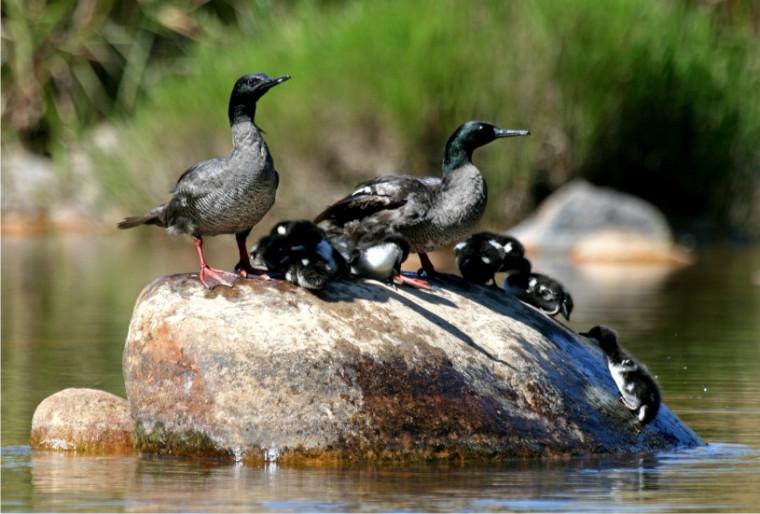 Em 2019, expedição registrou vários nascimentos na população do pato-mergulhão no Tocantins