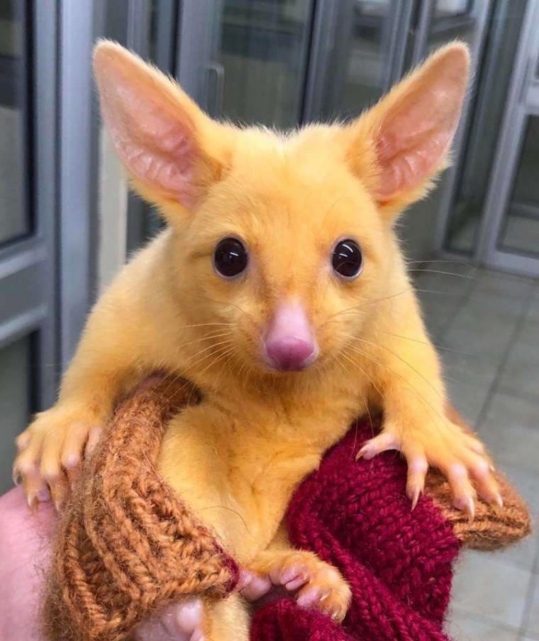 O Picachu da vida rela foi encontrado por veterinários na Austrália
